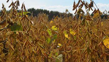 """De """"muy bueno a excelente"""": así está casi el 90% del cultivo de soja de primera"""