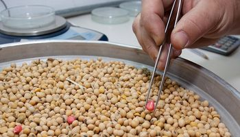 Solicitan el registro de una variedad de soja resistente a podredumbre de la raíz y base del tallo