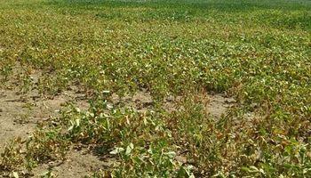 Con sequía extrema, en soja hay 75 por ciento de chances de perder plata