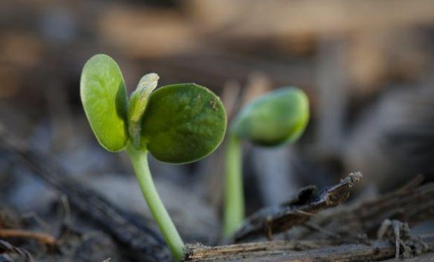 El USDA prevé un leve repunte del área con soja.