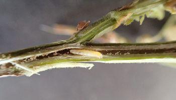 """Por qué la """"no acción"""" es la mejor acción contra la nueva plaga de la soja que puede producir pérdidas de un 35 %"""