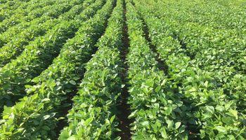 Leve desmejora en la condición de la soja, el maíz y el trigo en Estados Unidos