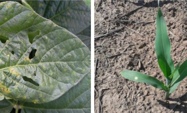 Soja y maíz: presencia de enfermedades