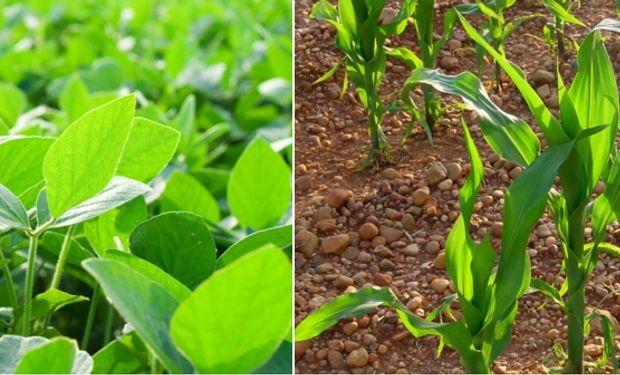 Los cultivos de soja de primera y segunda, maíz temprano y de segunda en Santa Fe se encuentran en muy buenas condiciones.