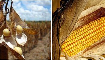 Soja y maíz: ¿Cómo hacer para que la mejora genética se refleje en el lote?