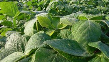 Por primera vez, el consumo chino de soja superó los 100 millones de toneladas