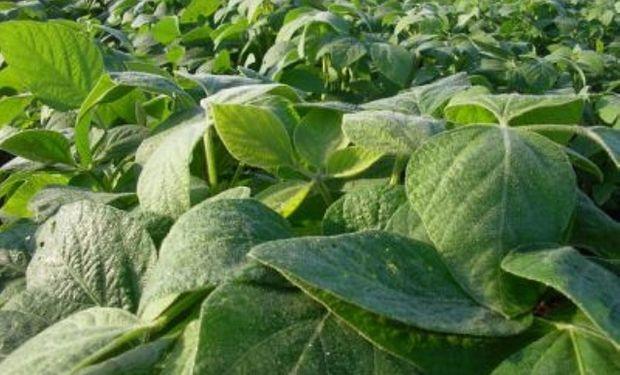 El 70% de la soja se encuentra en buen estado
