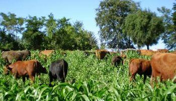 Claves para evitar la intoxicación de rumiantes por el consumo de plantas de sorgo forrajero