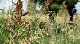 Estrategias de manejo para mitigar el avance del sorgo de alepo resistente a glifosato