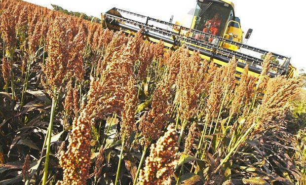 Luego de varias campañas con caída de superficie, el cereal recobra importancia como alternativa para mejorar la eficiencia ganadera.