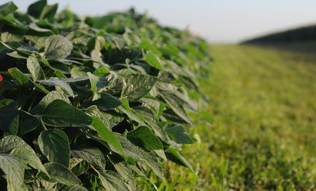 Pro Farmer informó condiciones de soja por encima al promedio de los últimos años, lo que genera buenas expectativas de la cosecha en curso.
