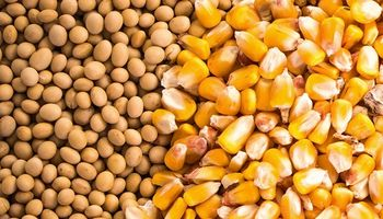Rebote técnico para la soja y el maíz luego del lunes negro para los mercados