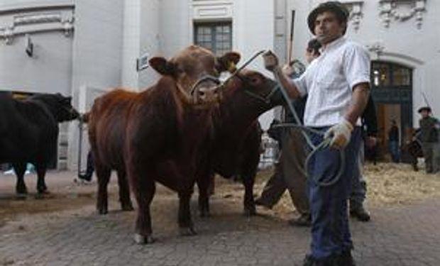 Obra de artesanos: hacer que un toro sea un speciality de la ganadería