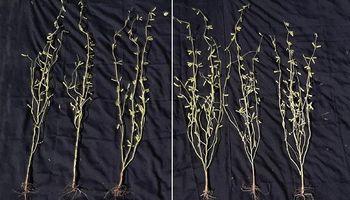 Soja y girasol: ofrecen una solución fisiológica para construir más granos por metro cuadrado