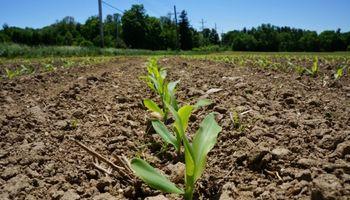 Chicago: el maíz fue el único que logró avanzar