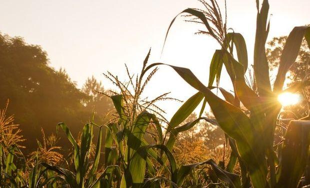 Un buen momento para el maíz.