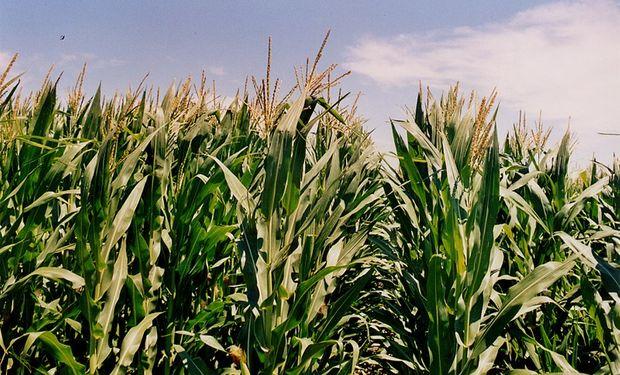 Lideradas por el maíz, la jornada reducida de Chicago dejó importantes subas para los granos