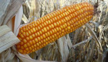 El maíz opera con subas en Chicago
