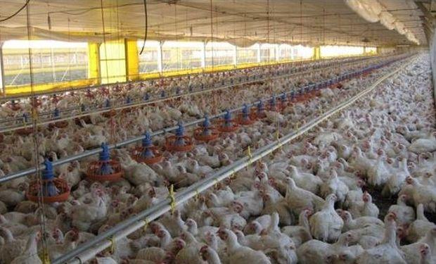 Las plumas, huesos y sangre de las aves faenadas atraviesan un proceso de digestión enzimática innovador.