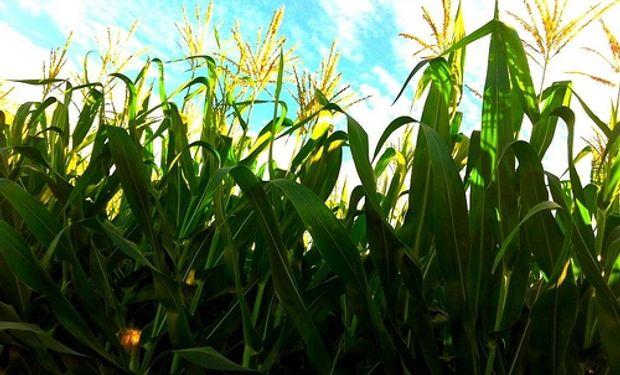 20% de la cosecha de maíz de primera recibió aportes.