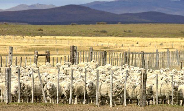 Subsidios del MINAGRI para mejorar calidad de las lanas