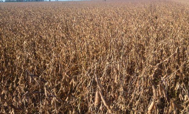 Suelos al límite y la humedad de los granos, impusieron el ritmo de cosecha.