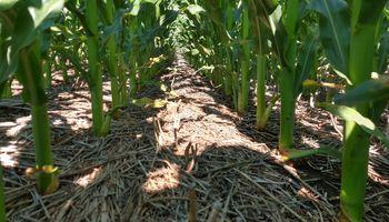 Cómo hacer maíces tardíos de forma más eficiente