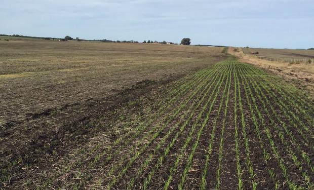 230 mil ha menos de trigo por los excesos de agua en Argentina.