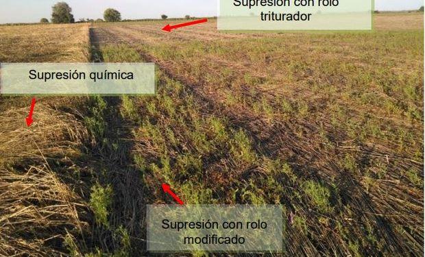 Experiencia demostrativa: los 4 aprendizajes luego de incorporar cultivos de servicios antes del maíz tardío