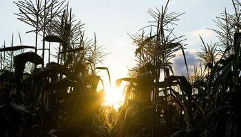 Sorpresa en Chicago: el maíz tocó el límite de bajas y repercutió en Rosario