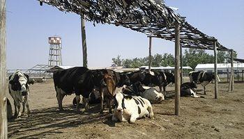 Los niveles de estrés calórico bovino ya alcanzan la emergencia