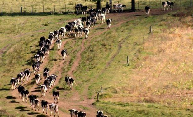 Ordeñará 1200 vacas y se instalará una industria láctea.