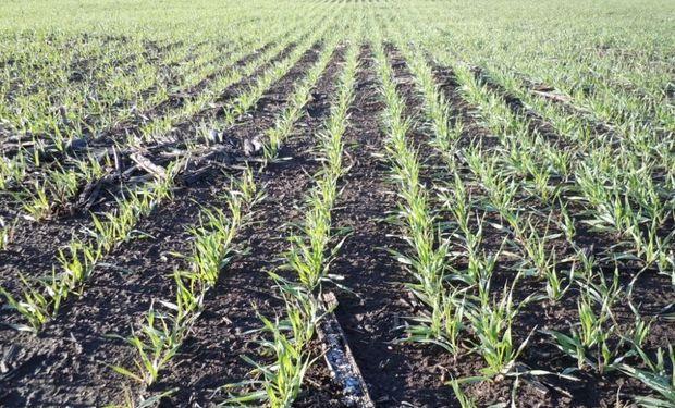 ¿Cuál es el rol de la tecnología en trigo? La aplicación de urea aumentó un 78 % en 5 años