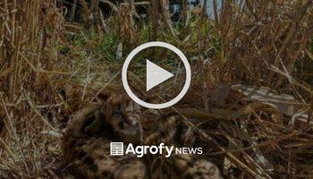 Cosechaban maíz y se encontraron con un cachorro de puma
