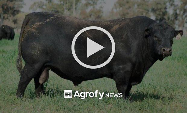 Una cabaña pagó uno de los precios más altos del país por un toro Angus