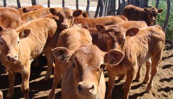 Vacuna para los bovinos del INTA
