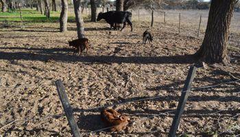 Vaca parió terneros trillizos