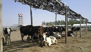 Estrés calórico: alternativas para reducir el impacto en el ganado