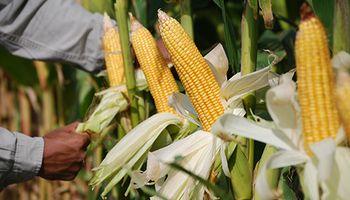 Nueva Diplomatura: tecnologías para potenciar la industrialización del maíz