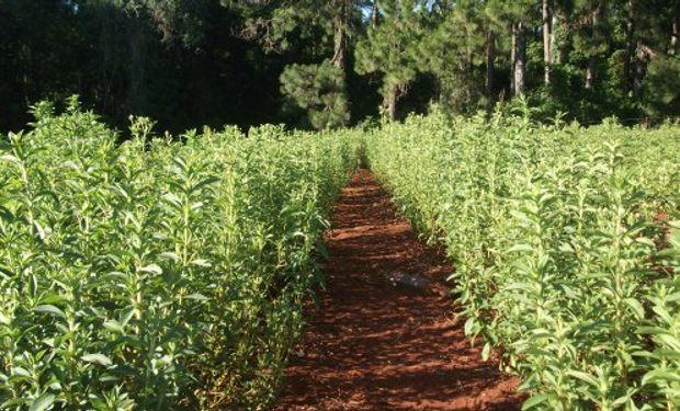 El nuevo cultivar Estevia CA 5144 se destaca por el potencial productivo, manejo y resistencia a plagas y enfermedades.