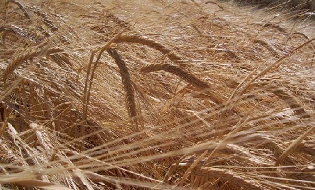Nélida INTA se destaca por su capacidad de producir forrajes, granos y silajes en un mismo año.