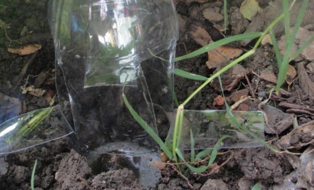 El aroma de la malta fermentada atrae a los caracoles y eso permite capturarlos.