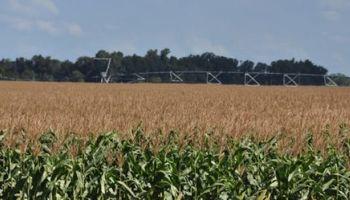 Científicos argentinos buscan un maíz que resista a múltiples enfermedades