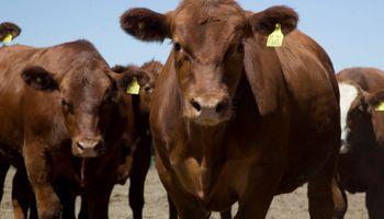 """Con la nueva tipificación comienza """"una nueva etapa en la comercialización de carne"""""""