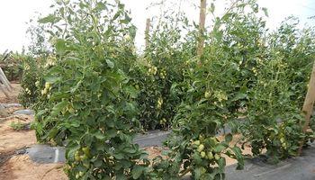 Desarrollaron un injerto que aumenta un 58% el rendimiento de la planta de tomate