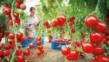 Registran una nueva variedad de semilla de tomate híbrido