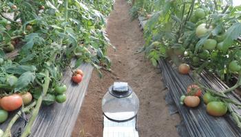 Diseñan trampas con luz led para atrapar la polilla del tomate