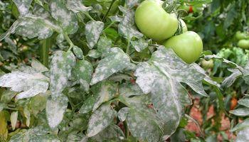 Syngenta lanza una nueva solución para agricultores hortícolas