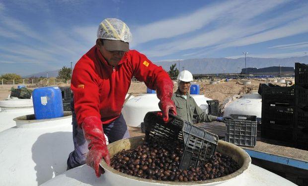 La provincia es la principal productora de aceituna de mesa. Foto: Gobierno de la Rioja