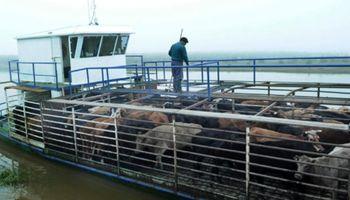 Febril traslado de vacas en las islas del Paraná